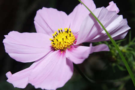 sensation: image of pink cosmos flower Cosmos sensation mixed Stock Photo