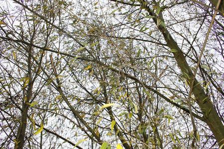 salix alba: image of willow trees against pale autumn sky. Worksop, Nots, England Salix alba
