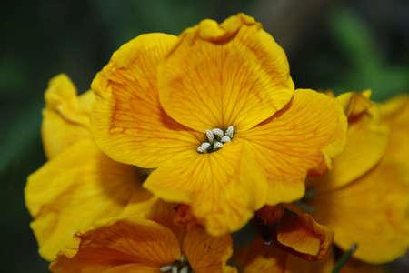 wallflower: close up of wallflower in garden Erysimum Stock Photo