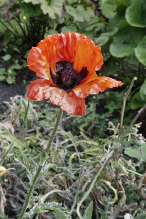 Oriental poppy flower papaver orientale kings parkretford oriental poppy flower papaver orientale kings parkretford nottinghamshire england uk stock mightylinksfo