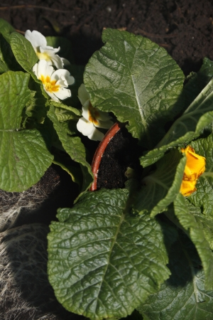 primroses ready to be planted in garden Primula vulgaris photo