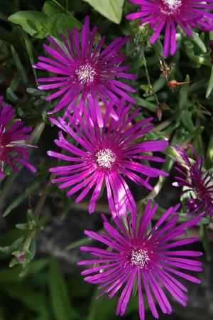 flowered: pink flowered ice plant Drosanthemum speciosum rosea