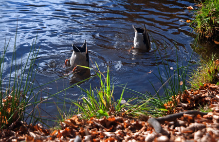 synchronous: Synchronized swimming. Two ducks swimming in a pond as a sporting event. Stock Photo