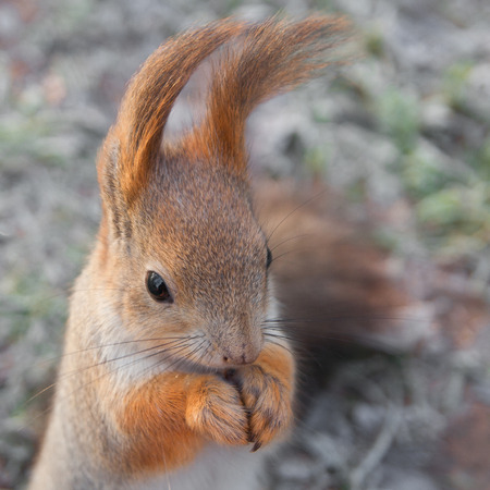 Squirrel with beautiful long ears. photo
