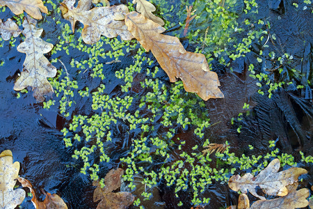 duckweed: Winter. Frozen leaves and duckweed under the ice. Stock Photo