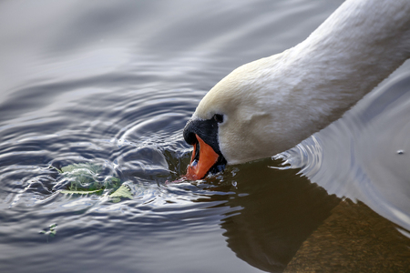rinse: On the photograph is   swans head,  Swan rinse  in the water the grass. Stock Photo