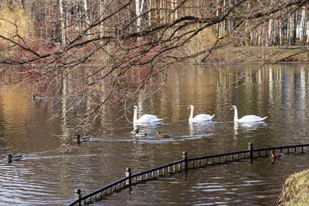 an feather: Swans and ducks swim in the pond. In the foreground branches without leaves.