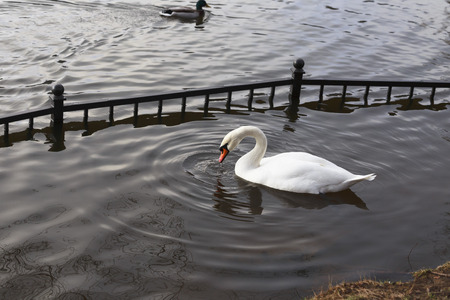 water dripping: Swan swims in the pond. Water dripping from its beak.