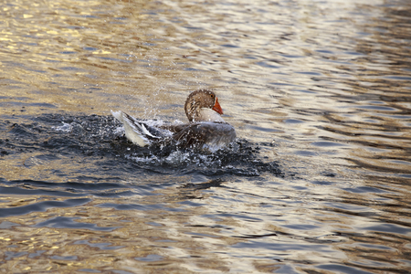 water splash: Grey Goose se ba�� en el estanque, salpicaduras alrededor de ella se levantan.