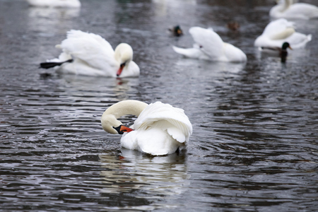 swimming bird: Winter. White swans swimming in a pond. They clean the feathers.