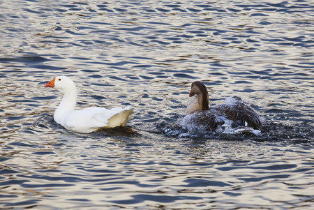 color water: Grey and white geese swimming in the pond.