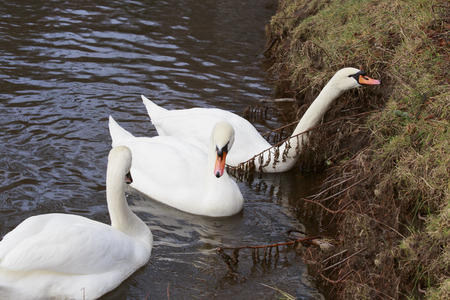 swimming swan: Three swans on the shore. One burns the grass. Stock Photo