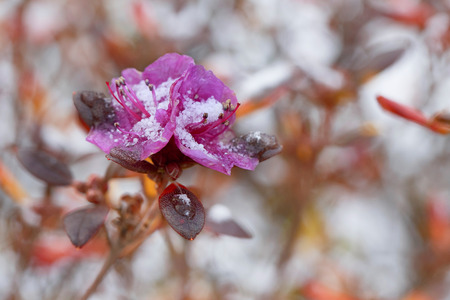 the stamens: Azalea flowers covered with snow. Selective focus on the stamens of the flower.