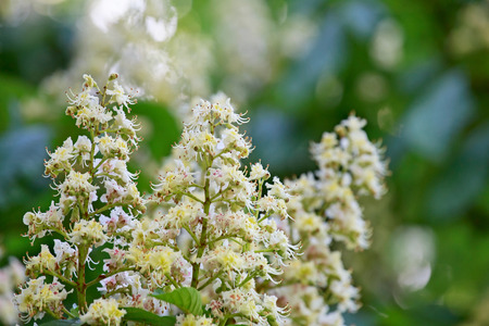 white blossom: Background. Spring. Flowering branches of chestnut.