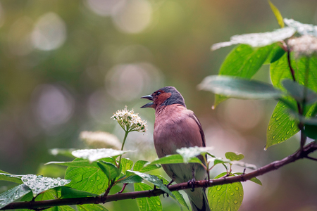 finch: Finch sings on blossoming branch. Stock Photo