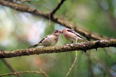 finch: Spring. Finch feeding chicks on a branch.