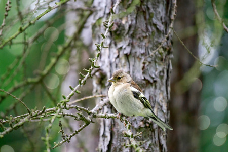 finch: Spring. Finch (female) sitting on a branch of larch. Stock Photo