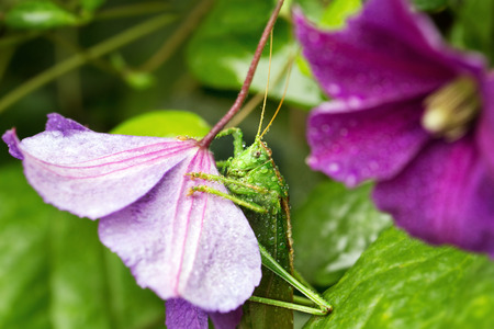falcata: Grasshopper(lat. Phaneroptera falcata)  sitting on a flower clematis.Selective focus.