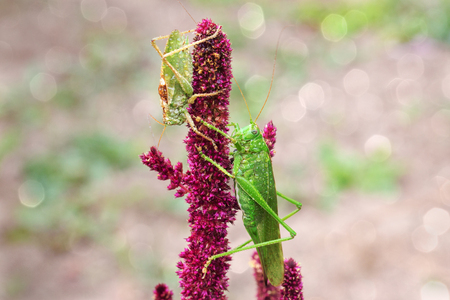 falcata: A pair of male and female grasshoppers in the drops of dew sitting on amaranth.Selective focus.The right and left there is room for text.