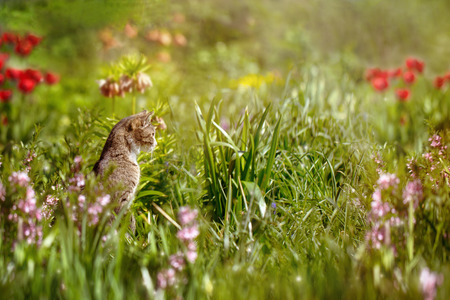 carefully: Cat sitting in flower beds and carefully hunts on the mouse.