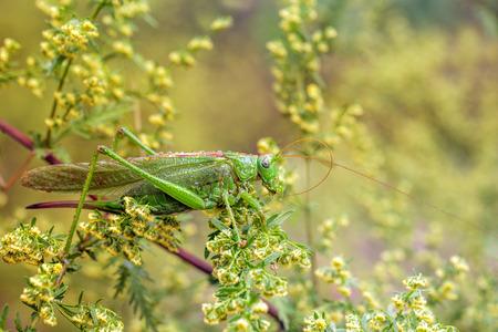 the antennae: Large grasshopper antennae brushing.