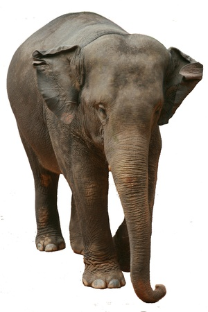 Asian Elephant Stock Photo - 10399408