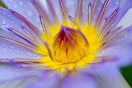 close up lotus photo