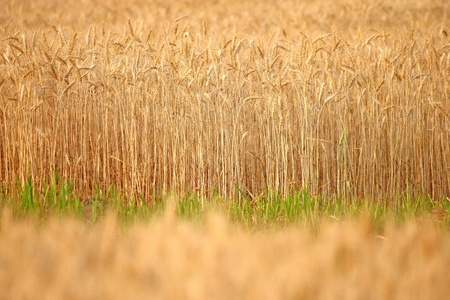 abstract background barley field Stock Photo - 11210630