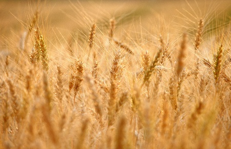 barley background Stock Photo - 11210623