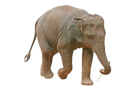 pachyderm: Asian Elephant