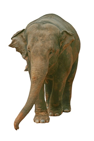 Asian Elephant Stock Photo - 11384666