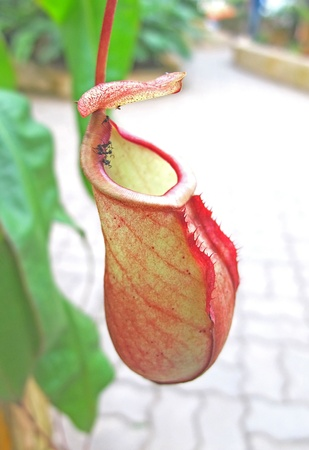 Nepenthes Orchid