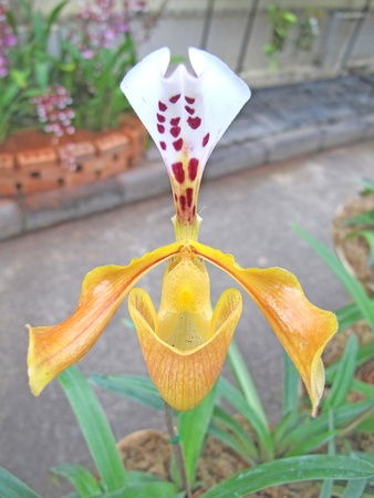 lady s: Lady s Slipper Orchidaceae family