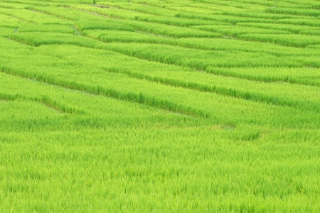 rice field photo