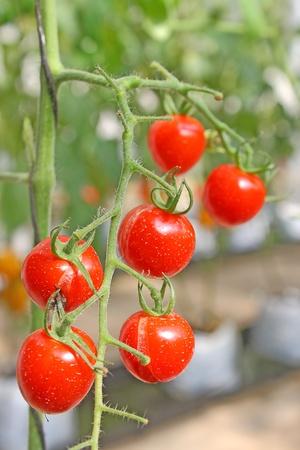 tomato Stock Photo - 11779916
