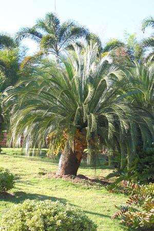 cycas: Palm