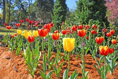 tulips garden photo
