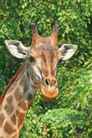 Giraffe Stock Photo - 12427464