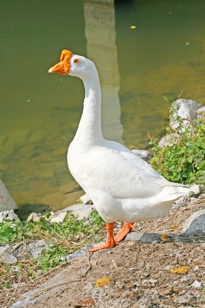 bird flu: Goose