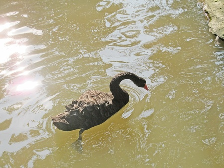 avian flu: black Goose