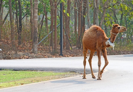 camel Stock Photo - 12912864