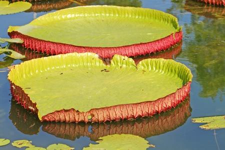 Lotus Leaves photo