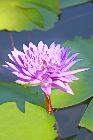 nelumbinis: Lotus flower Stock Photo
