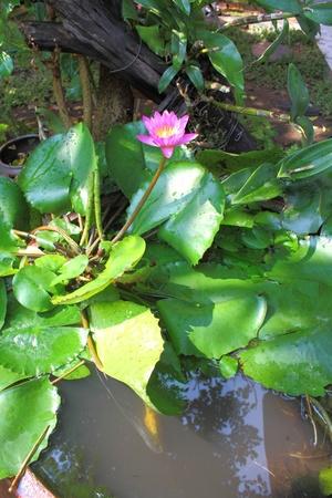 Lotus and garden Stock Photo - 13252138