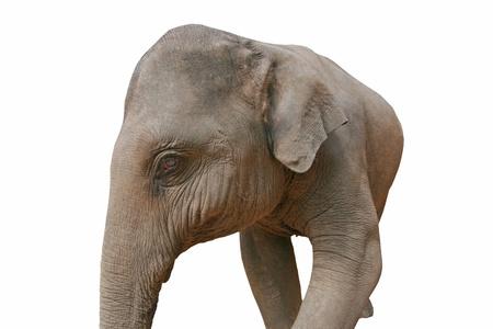 Asian Elephant photo