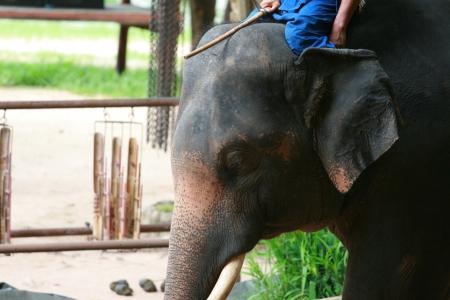 Elephant show in Thai