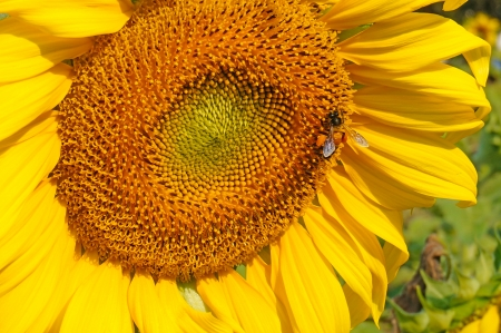 bee in sun flower photo