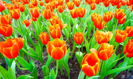 spring orange tulips photo