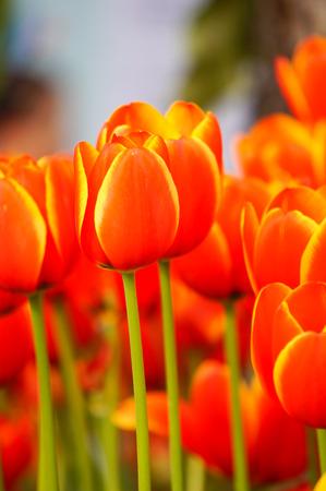 tulips in the garden Stock Photo