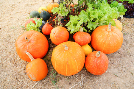 riped: Riped pumpkin on field